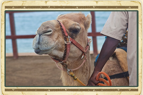 Camel Ride with Plantation Tour & Dunn's River Falls Experience